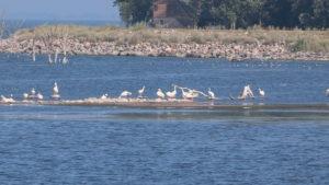 Pelicans on Spirit Lake